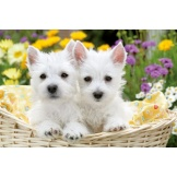 Puzzel Schattige West Highland Terrier (300)